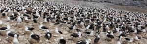 Thousands of albatross nesting on Steeple Jason. Photo by Bettina Elten